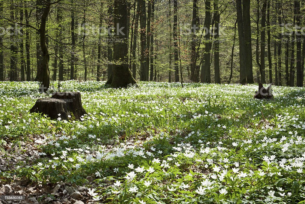 Springer white flowers in forest royalty-free stock photo