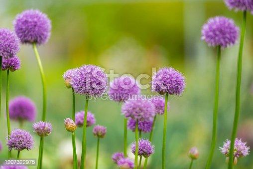 Allium flowers in bloom