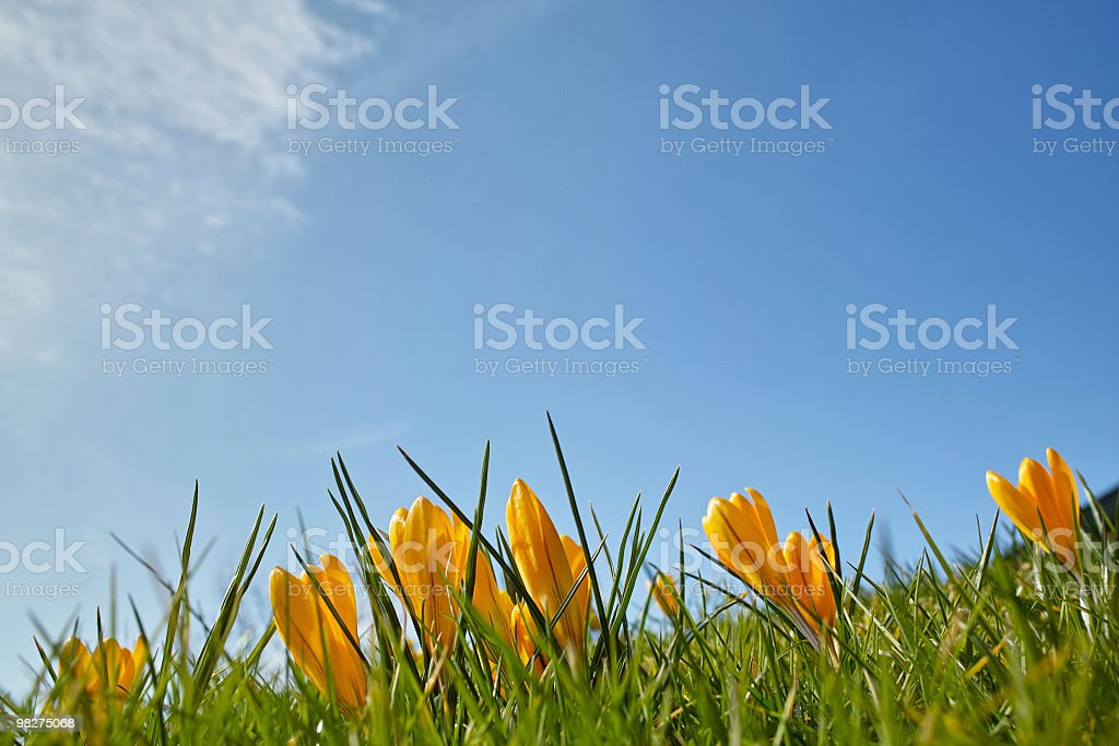 springtime and Easter with yellow crocus front of blue sky royalty-free stock photo