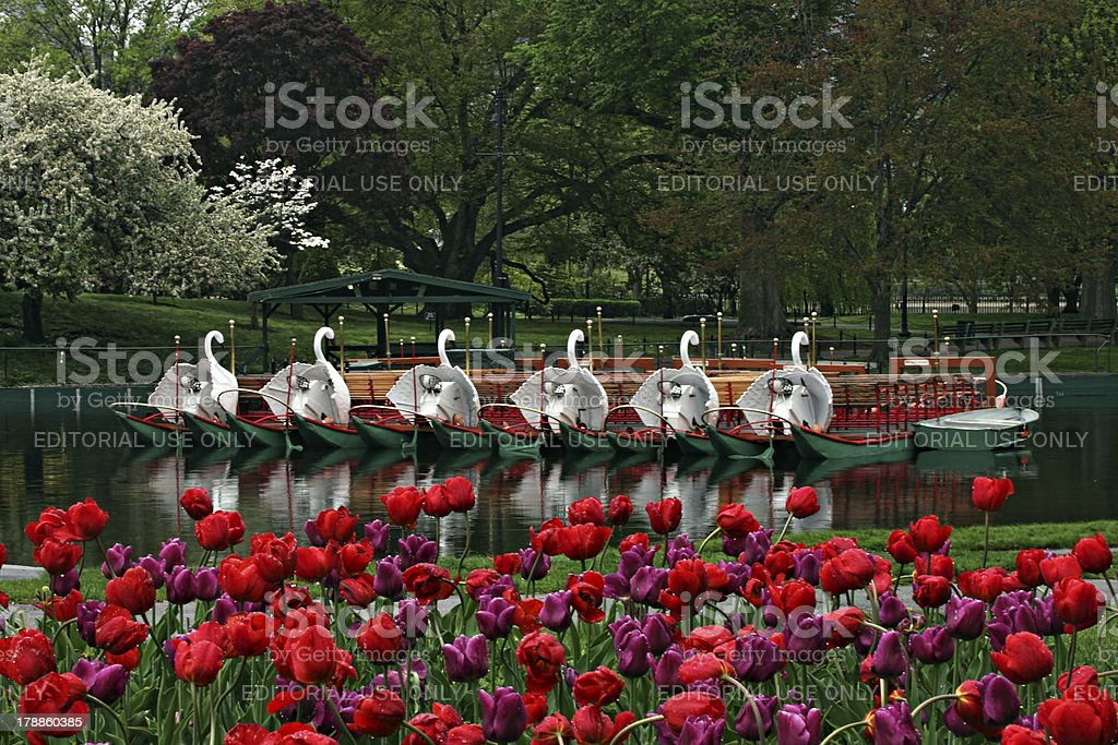 Springtime and Swan Boats at the Boston's Public Gardens stock photo