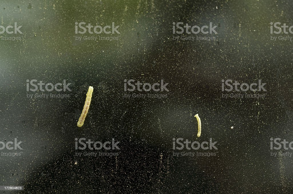 Springtime Annoyances - Pollen and Caterpillars royalty-free stock photo
