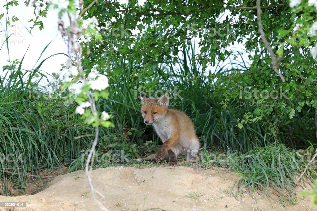 Springtime Baby Foxes royalty-free stock photo