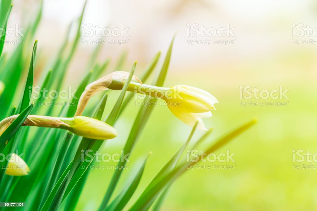 Springtime background. Summer sunny day, yellow flowers with a green grass. Copy space royalty-free stock photo
