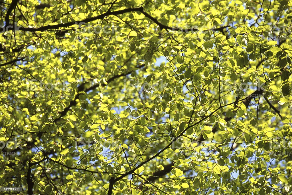 Springtime Beech Leaves royalty-free stock photo