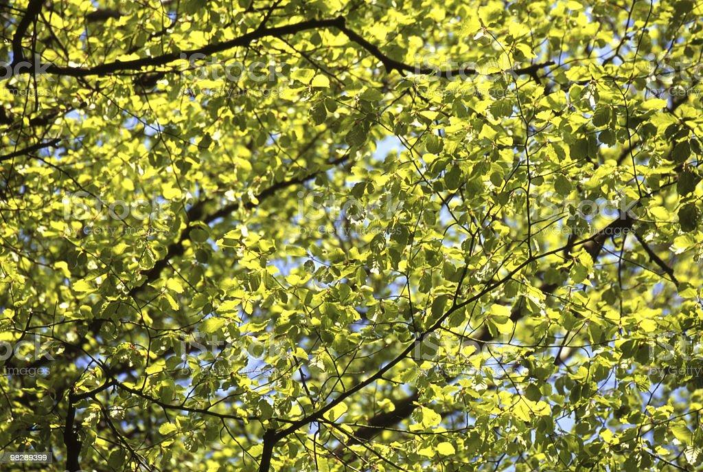 봄 너도밤나무 잎 royalty-free 스톡 사진