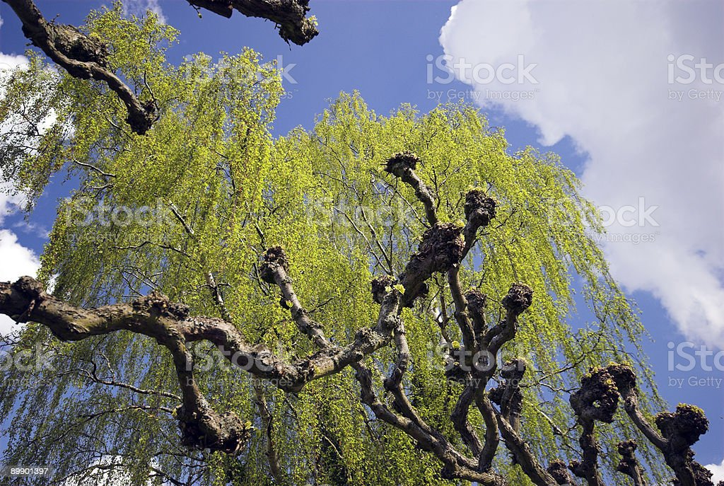 Springtime Birch royalty-free stock photo