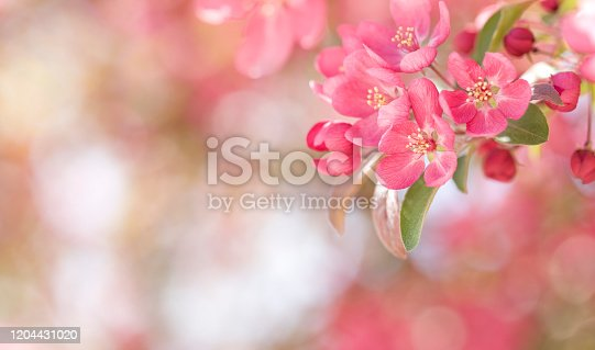 Springtime Blooming Crabapple Tree Blossoms Banner