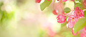 istock Springtime Blooming Crabapple Tree Blossoms Banner 1204431068