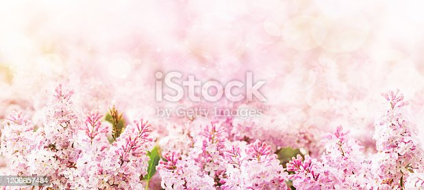 909680446 istock photo Springtime blossoming pink branch blooming background and backdrop flowers 1206657484