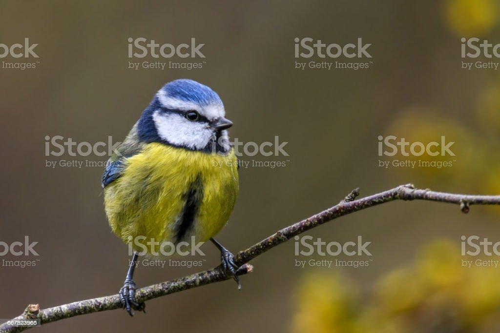 Springtime blue tit stock photo