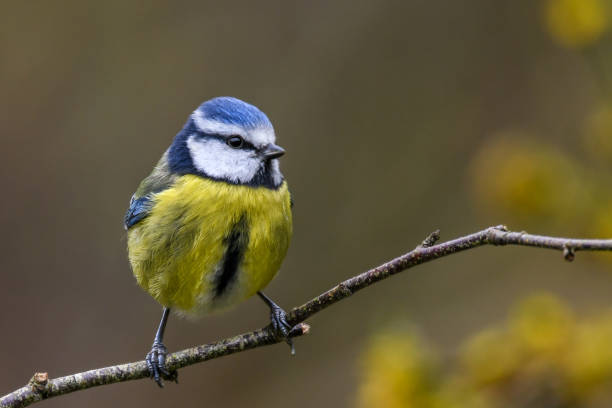 springtime blue tit - wildlife conservation stock photos and pictures