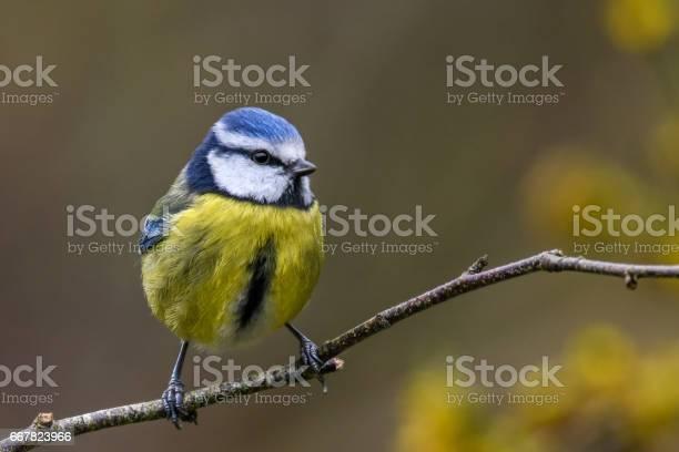 Photo of Springtime blue tit