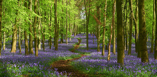 Springtime Bluebell Panorama Springtime in the Chiltern Hills, deep in the English Countryside. A path makes its way through a bluebell wood. Extra large panoramic from five vertical images. buckinghamshire stock pictures, royalty-free photos & images