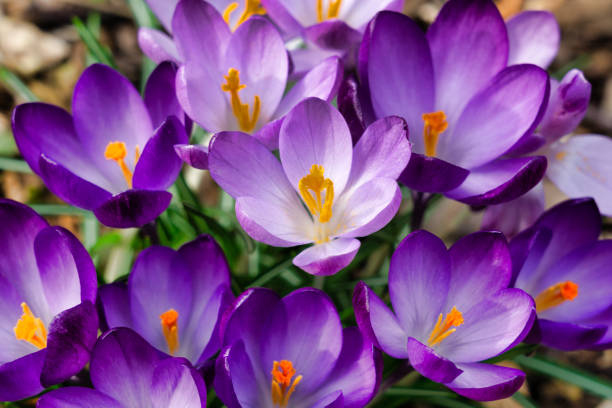 Springtime bunch of wild Purple Crocus (Crocus speciosus) flowers blooming stock photo