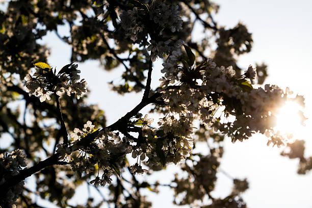 Springtime Cherry Blossom stock photo