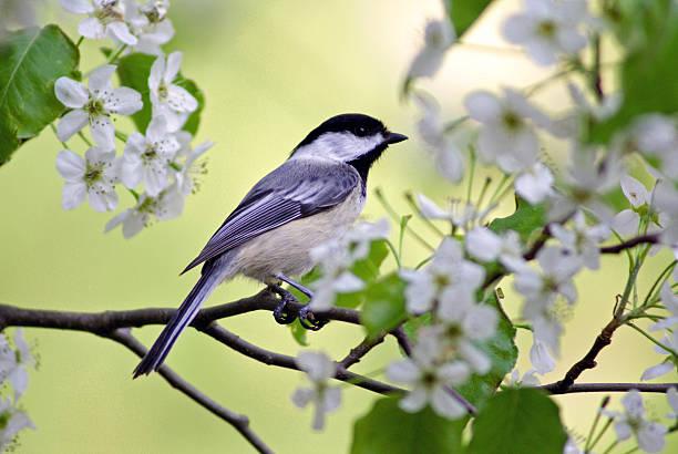 Springtime chickadee picture id494210701?b=1&k=6&m=494210701&s=612x612&w=0&h=rnjm3 wxnhalnmjpq 9yvl738ls3gtf tzrc2rpdswm=