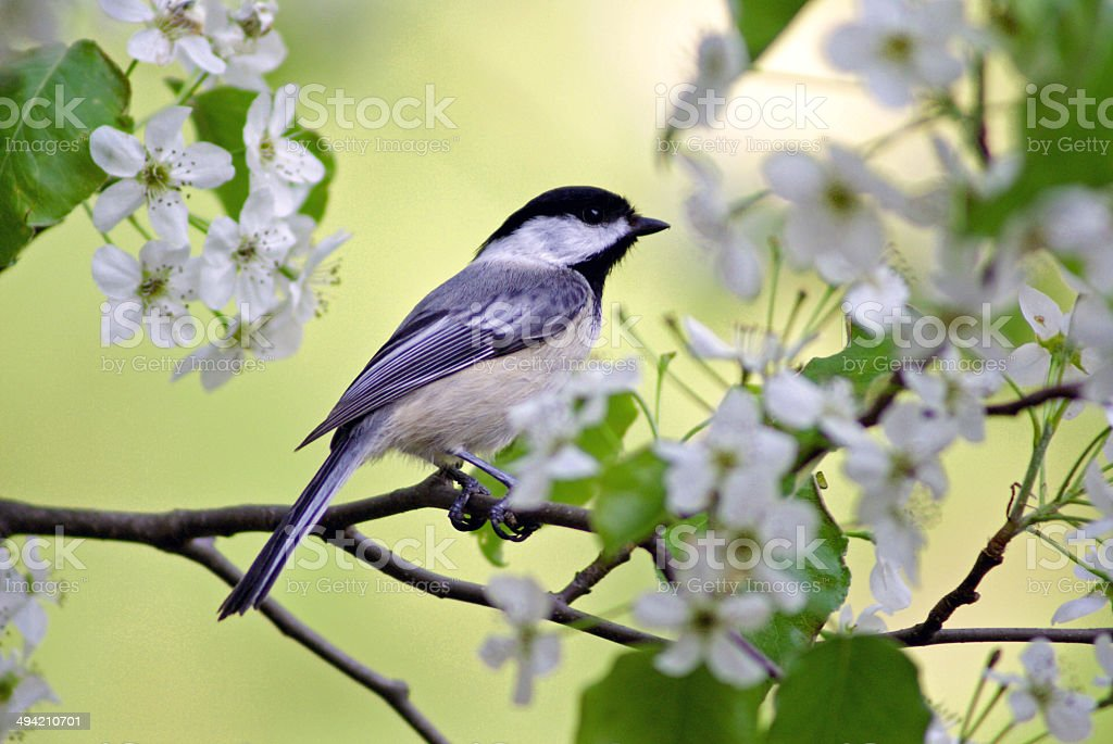 Springtime Chickadee stock photo