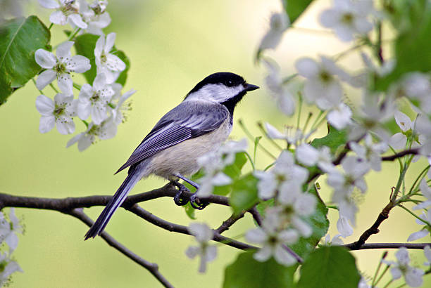 Springtime Chickadee A black-capped chickadee (Poecile atricapillus) perched in the spring blossoms of a flowering tree. chickadee stock pictures, royalty-free photos & images