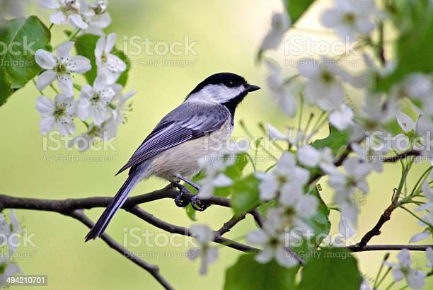 Photo of Springtime Chickadee