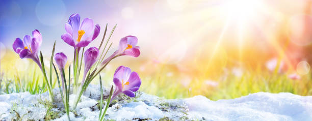 Springtime - Crocus Flower Growth In The Snow With Sunbeam Purple Crocus Melting Snow month stock pictures, royalty-free photos & images