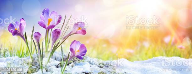 Photo of Springtime - Crocus Flower Growth In The Snow With Sunbeam