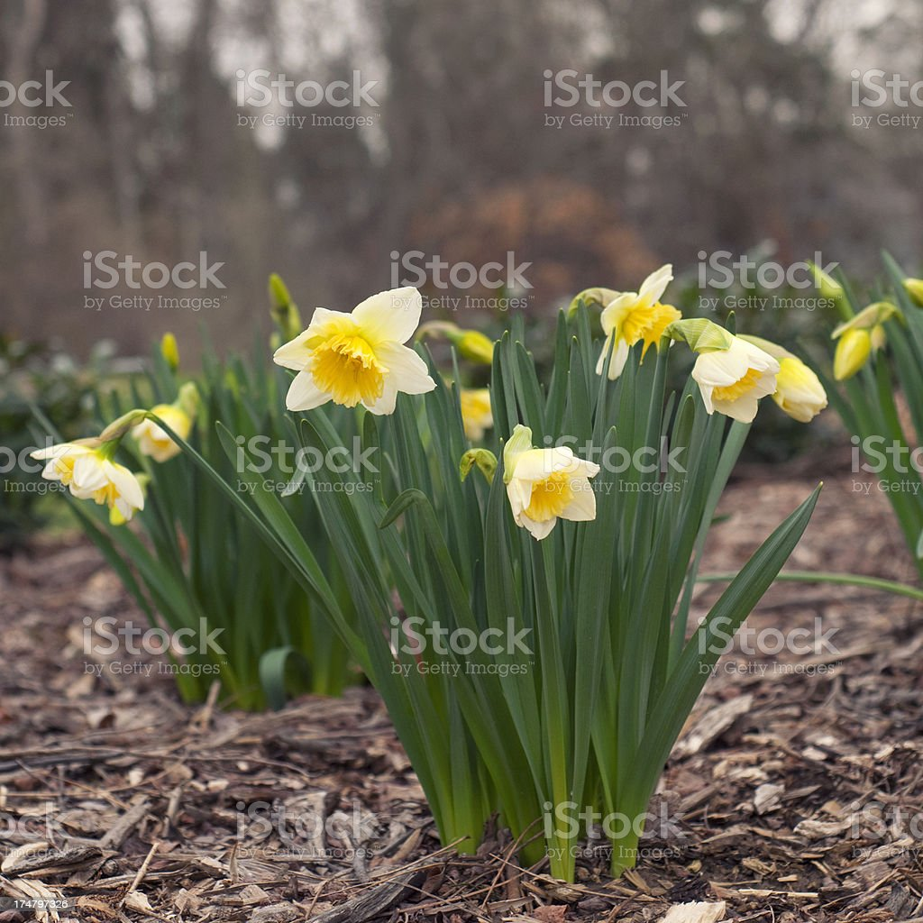 Springtime. Daffodil flowers provide color on a dreary day. royalty-free stock photo