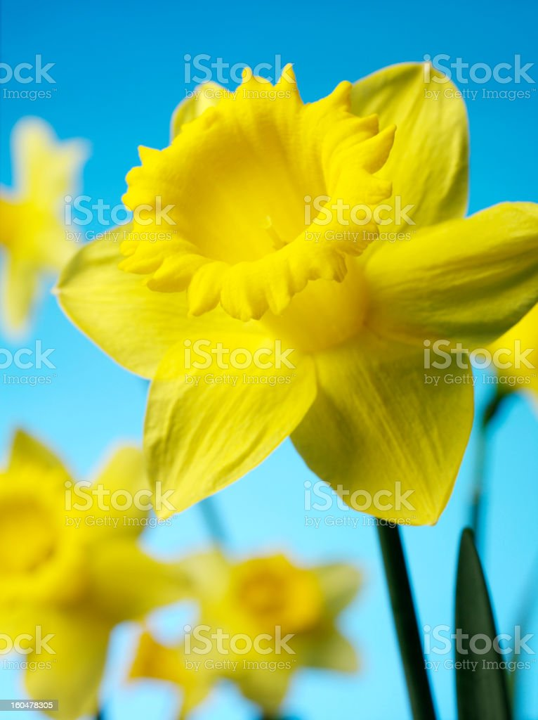 Springtime Daffodil royalty-free stock photo