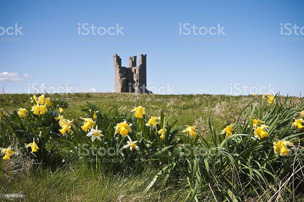 Springtime daffodils at Dunstanburgh Castle, Northumberland, UK stock photo