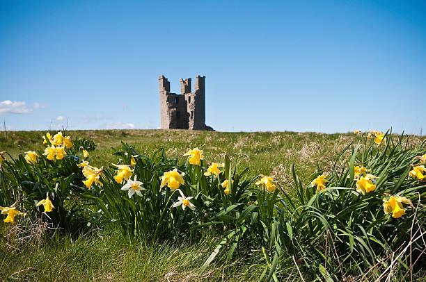 Springtime daffodils at Dunstanburgh Castle, Northumberland, UK stock photo