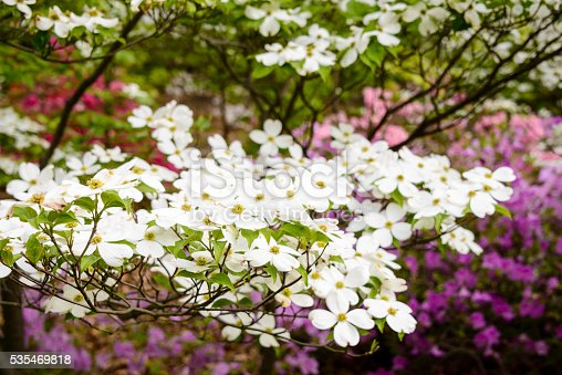 Springtime dogwood trees and azaleas are flowering at the  edge of the woods.