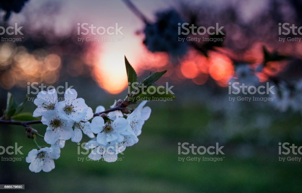 Springtime Door County Cherry blossoms in the sunrise foto stock royalty-free
