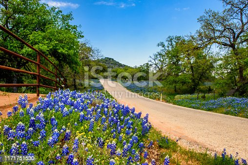 Bluebonnets line a road. Willow City Loop, Texas