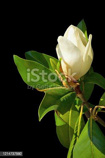 istock Springtime. Flower of magnolia isolated on black background 1214737592