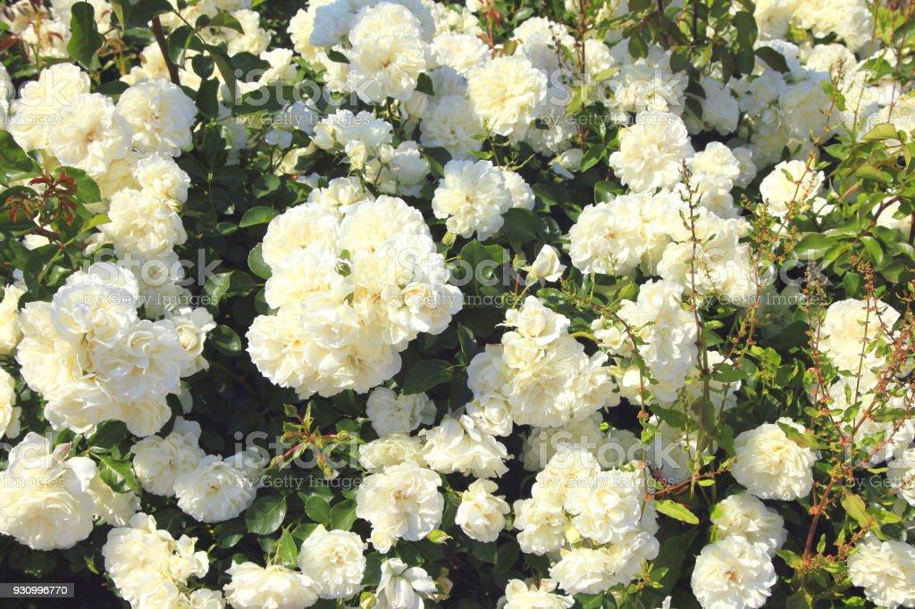Springtime flowerbed garden mediterranean white flowers in capri springtime flowerbed garden mediterranean white flowers in capri royalty free stock photo mightylinksfo