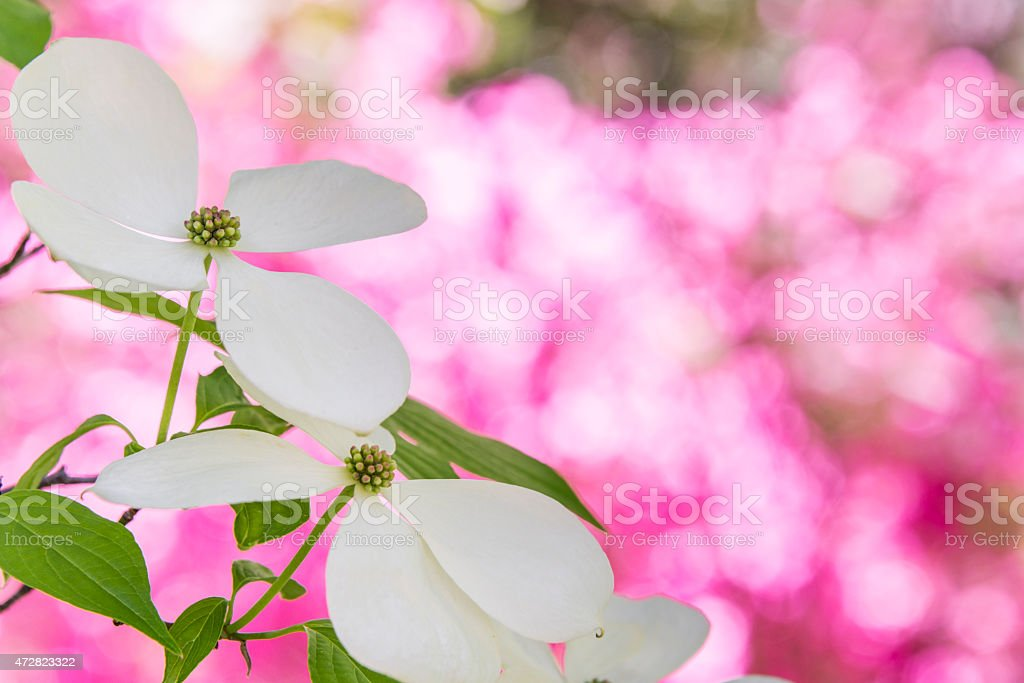 XXXL: Springtime flowering dogwood blossoms stock photo