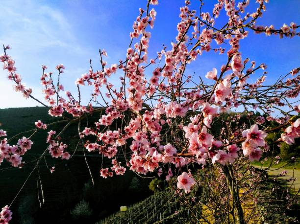 Springtime flowering tree, footpath and clear blue sky background stock photo