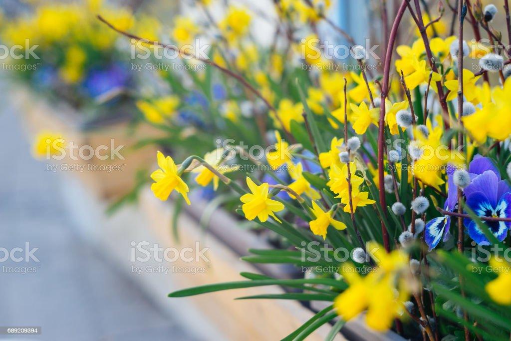 Frühling-Blumentopf mit Narzissen, Viola und Weide – Foto