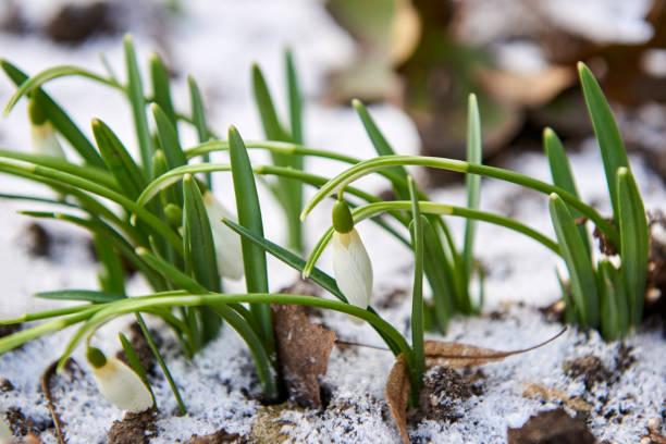 frühlingsplänen im schnee auf. - leucojum stock-fotos und bilder