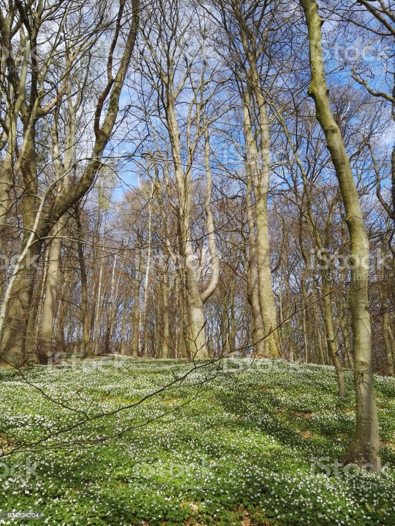 Springtime forest with many wood anemones. stock photo
