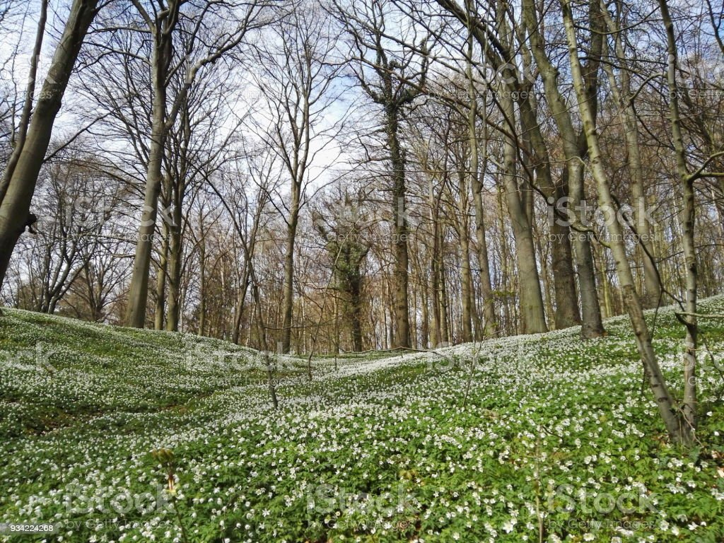 Springtime forest with wind flowers stock photo