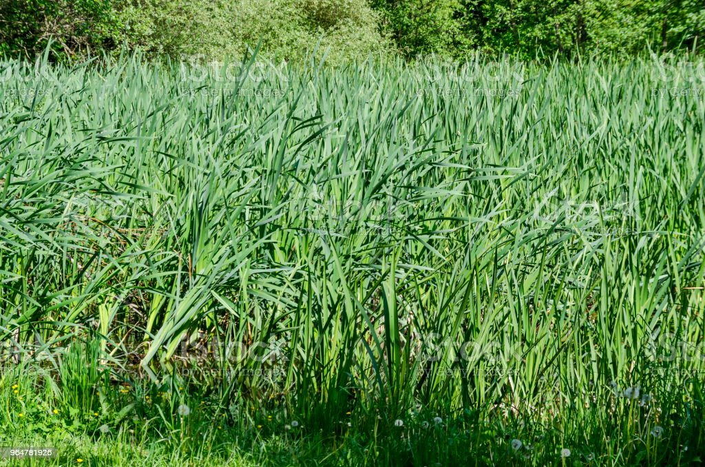Springtime green and fresh reed, Phragmites communis or rush on a beauty  lake in South park royalty-free stock photo