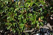 Magnolia tree in Aranjuez, Spain