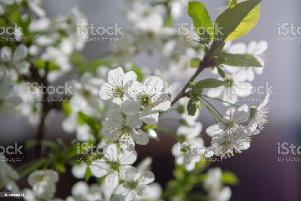 Springtime In Fruit Orchard White Cherry Tree Blossom Close Up