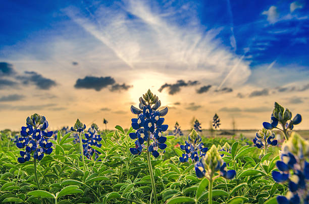 springtime in texas - bluebonnet stock photos and pictures