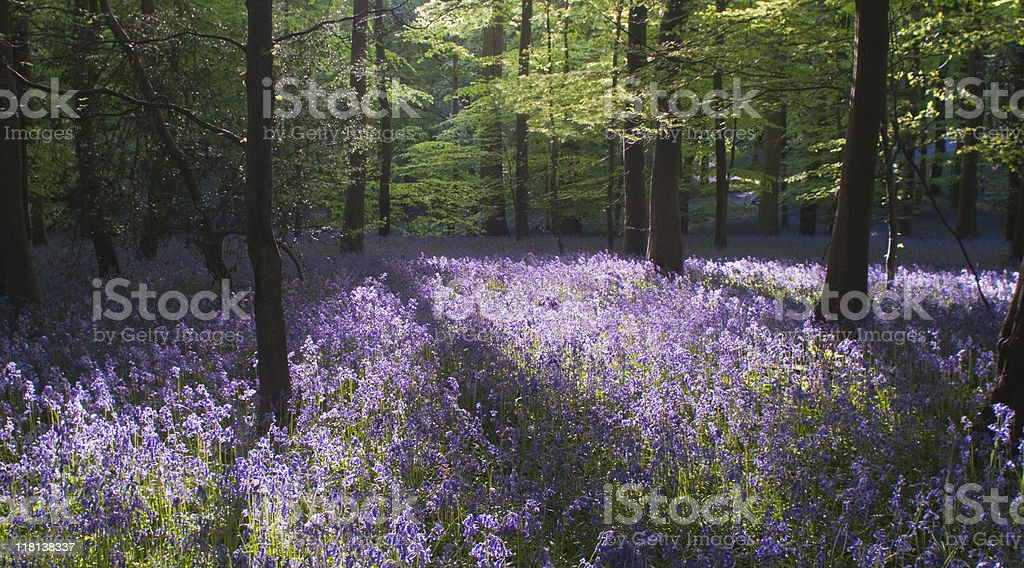 Springtime in the woods with bluebells. royalty-free stock photo