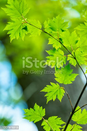 Asian maple leaf