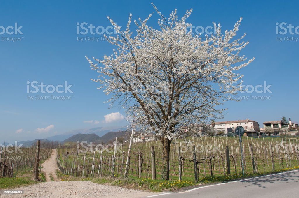 Springtime landscape in prosecco vineyard hills royalty-free stock photo