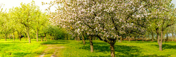 Springtime landscape in the orchard with old apple trees in a meadow stock photo