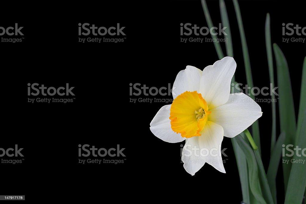 springtime narcissus royalty-free stock photo