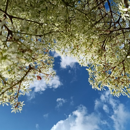 Branches of trees with white leaves in front and behind are a scene of a sky with white clouds.